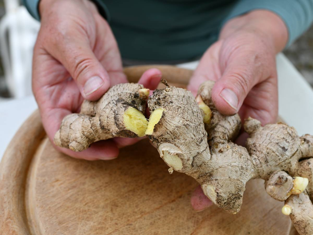 A chef pulls raw ginger apart to reveal the inside.